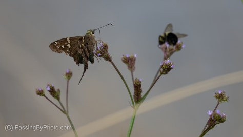 Long-tailed Skipper on Statice