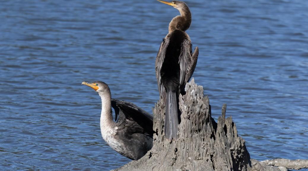Anhinga and Cormorant