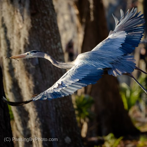 Great Blue Heron Flying With Stick