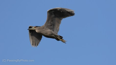 Black-crowned Night-Heron Flying By