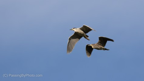 Black-crowned Night-Herons Flying By