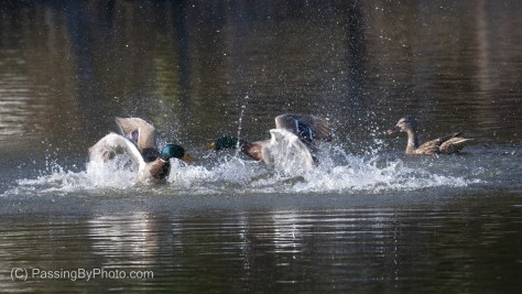 Two Male Mallards Squabbling