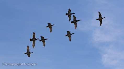 Blue-winged Teals Flying Over