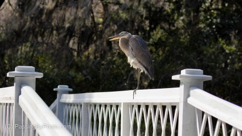 Great Blue Heron on Long White Bridge