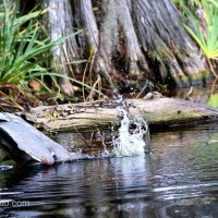 Great Blue Heron Hunting, Unsuccessfully