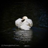Mute Swan Busking
