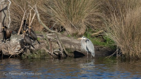Great Blue Heron, Gallinules, and Double-crested Cormorants