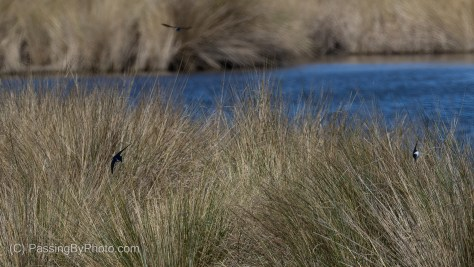 Swallows Over Marsh Grass