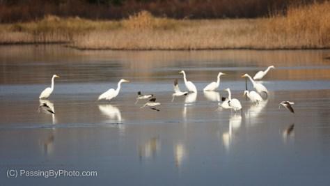American Avocet taking off, American White Pelican, Great Egret