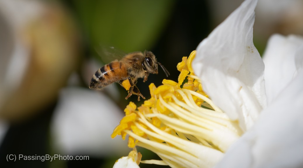 Bee Gathering Pollen From White Camellia