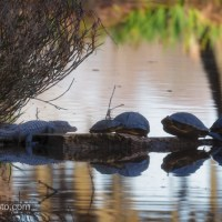 Alligator and Turtles, Hanging Out