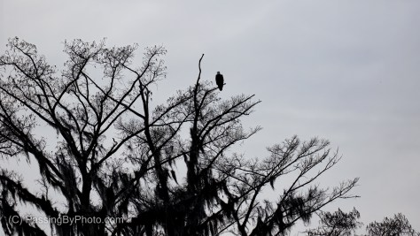 Bald Eagle High in Tree