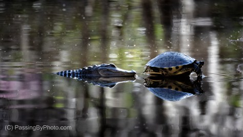Alligator and Yellow-bellied Slider Turtle