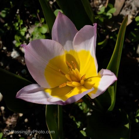 Purple and Yellow Tulip