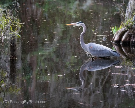 Great Blue Heron On The Hunt