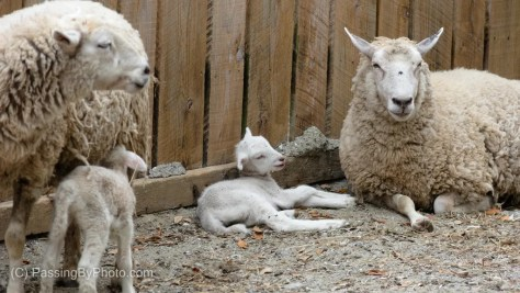 Two Lambs with their Mothers
