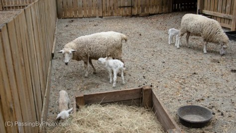 Three Newborn Lambs