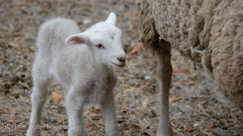 Newborn Lamb At Mother's Side