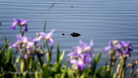 Alligator Swimming Behind Purple Iris