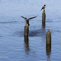 Cormorants Perched on Pilings