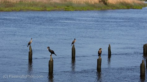 Double-crested Cormorants on River Pilings