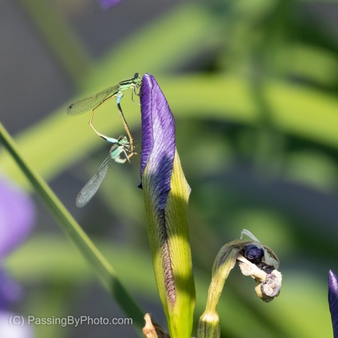 Mating Damselflies on Iris