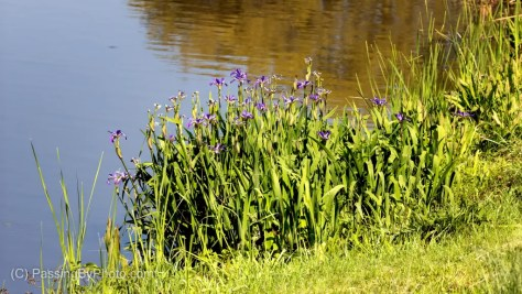 Purple Iris Patch at Side of Pond