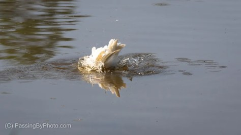 Snowy Egret Bathing