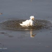 Snowy Egret Bath