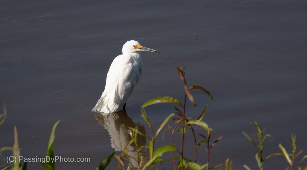 Snowy Egret After The Bath
