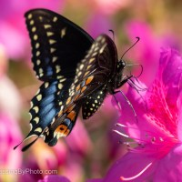 Black Swallowtail Butterfly on Pink