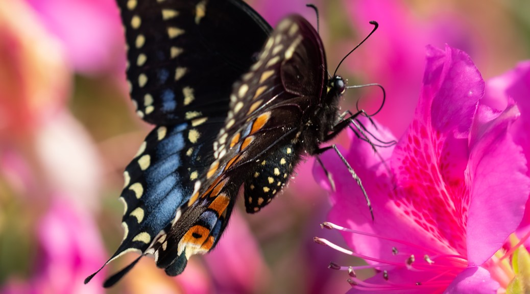 Black Swallowtail Butterfly on Pink Azalea
