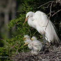 Great Egret Triplets With Parent
