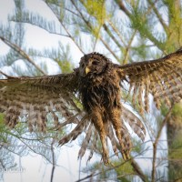 Barred Owl, All Wet