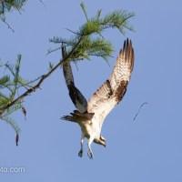 Osprey at Okefenokee Swamp