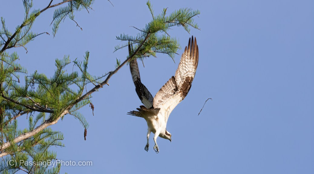 Osprey Dropping Out of Tree