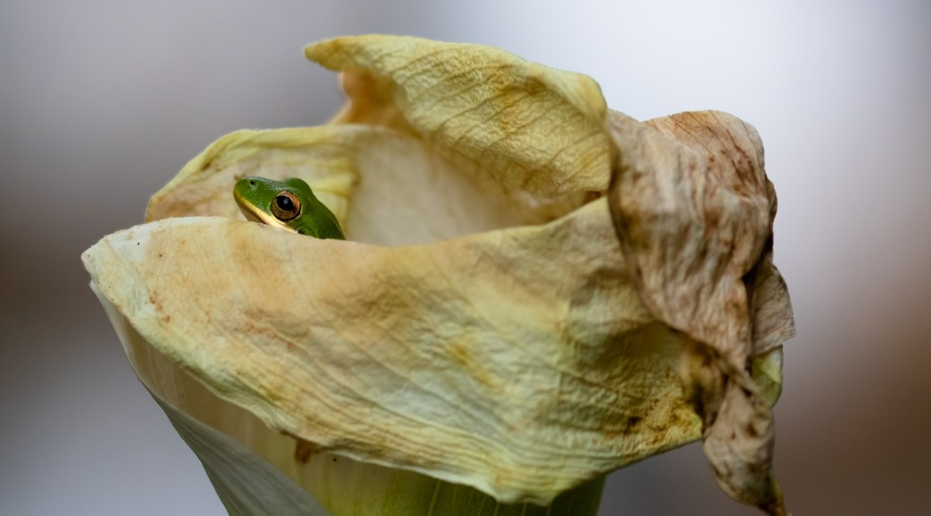 Tree Frog in Calla Lily