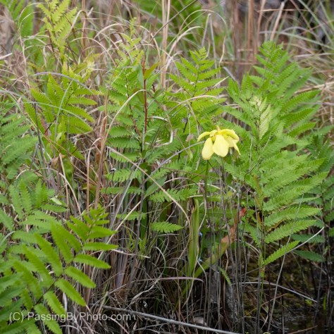 Pitcher Plant Flower and Ferns