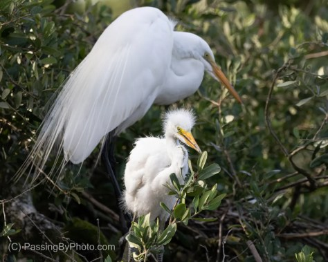 Great Egret Chick, Parent Behind