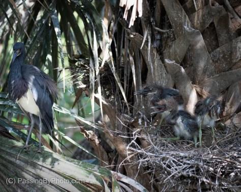 Tricolored Heron Adult Feeding Three Chicks