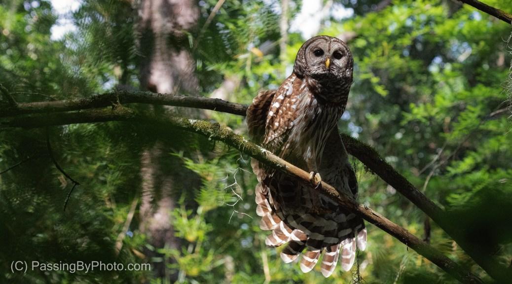 Barred Owl Stretch