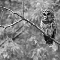 Silent Sunday: Barred Owl, Black and White