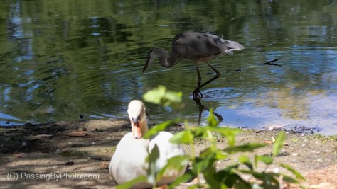 Great Blue Heron and Mute Swan