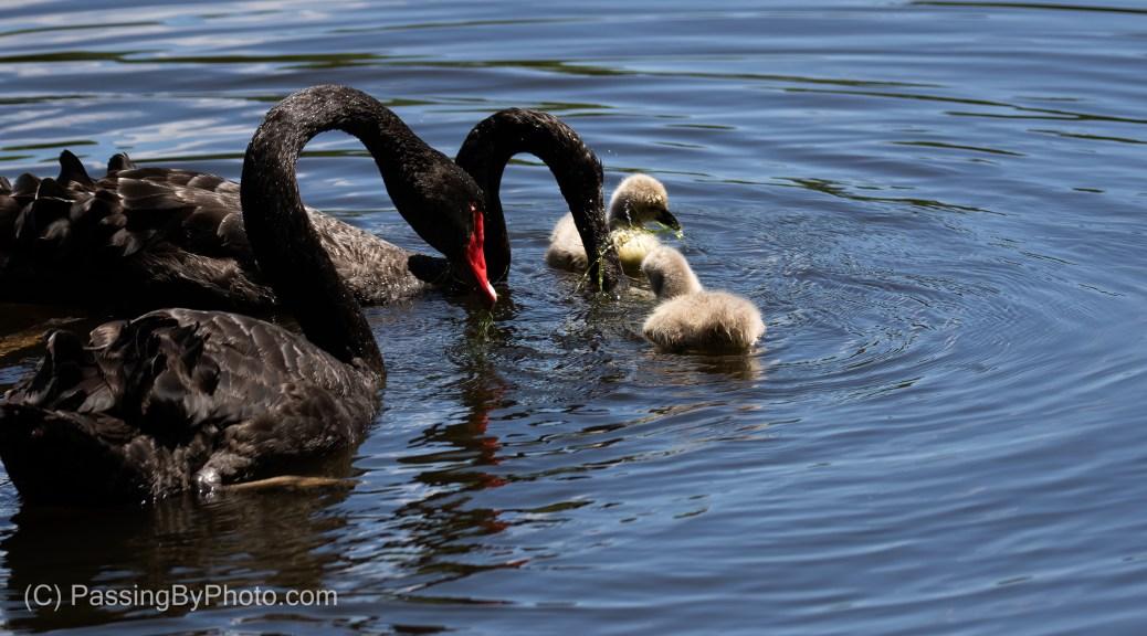 Black Australian Swan Cygnets and Parents