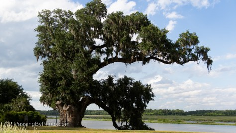 Oldest Live Oak Tree at Middleton Place