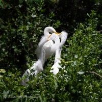 Great Egret Chicks: Feed Me!