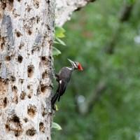 Pileated Woodpecker, Cheesy Wood