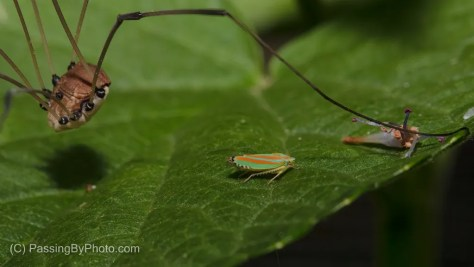 Daddy Long Legs Spider and Candy-striped Leafhopper