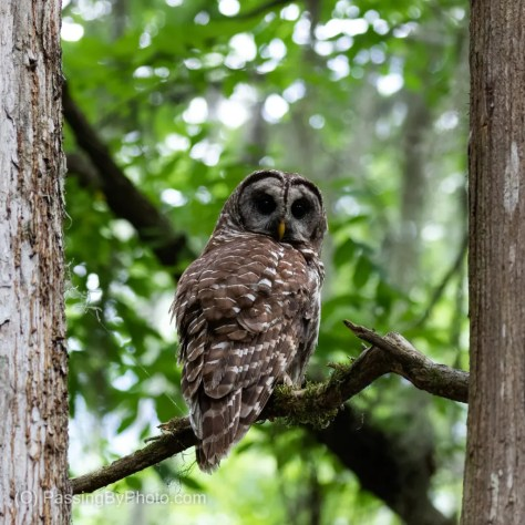 Barred Owl Framed By Two Tree Trunks