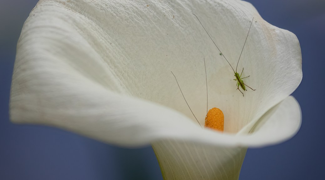 Long Antennae Green Insect in Calla Lily